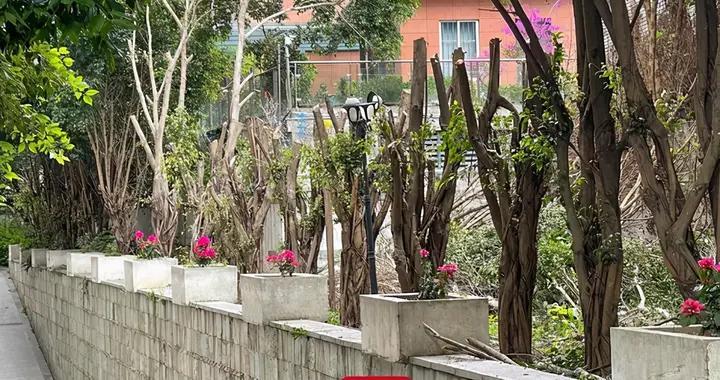 福州状元府小区大树遭砍秃,部门表示,该小区未报备重度修剪,已约谈物业