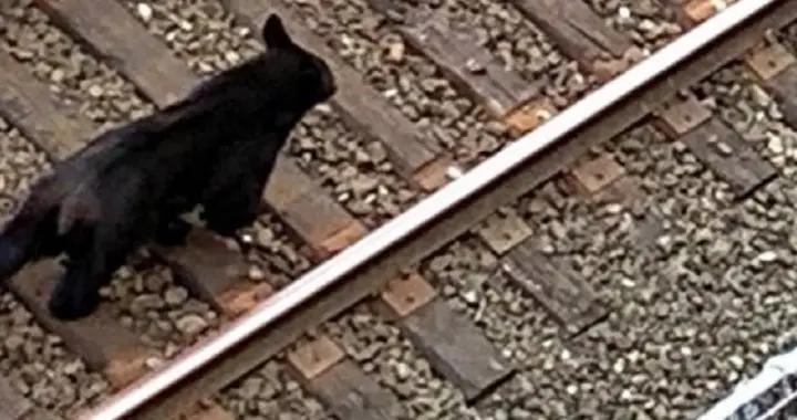 一只黑熊闯进温哥华闹市逛街