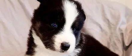 老爸高价买了只哈士奇,结果网友看到狗子长相后,瞬间笑疯了!