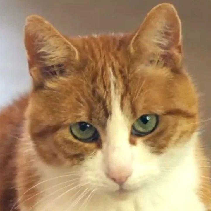 把猫咪年龄换算成人类年龄,0-100岁的猫咪会是什么样?