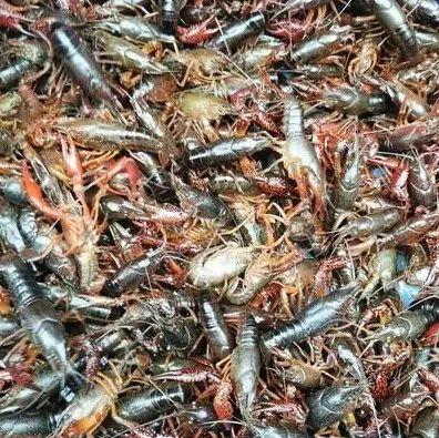 低至28元/公斤 昆明小龙虾大量上市 快来尝鲜