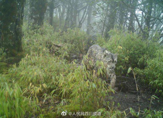 """""""雪山之王""""现身蜂桶寨国家级自然保护区"""