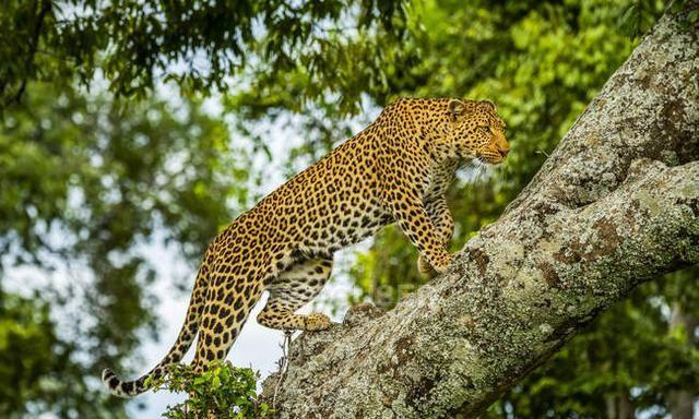 非洲豹和亚洲豹的基因差异,超乎想象