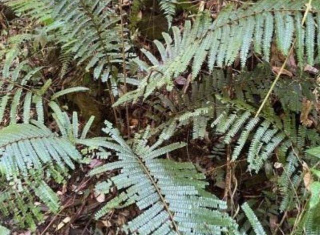 云南发现罕见翼囊蕨,中国境内最大自然居群,是什么?