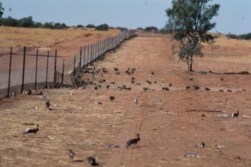 澳大利亚兔子曾超过100亿只,军方无奈还出动了轰炸机来消灭