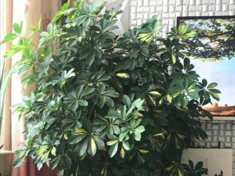 """养鸭脚木,花盆埋2种""""小东西"""",叶子长得浓绿光亮"""