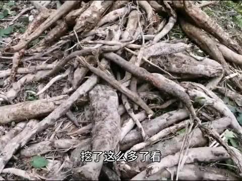 农村妹子真可怕,挖的树根直接吃,还说比吃槟榔强,啥道理