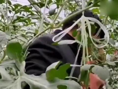 大衣哥朱之文生态园大丰收,高兴的唱起歌