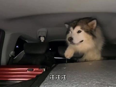 阿拉斯加遇见小奶狗萨摩耶,兄弟俩呆萌的样子,简直太可爱了