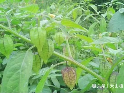 农村经常见的一种植物,能够治疗咳嗽,一斤可以卖到20元!