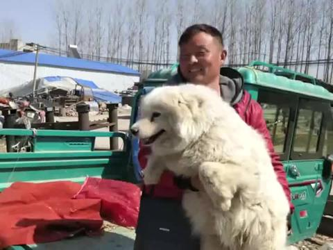 狗市:纯种萨摩耶3000块一条,你觉得这个价格合理吗?