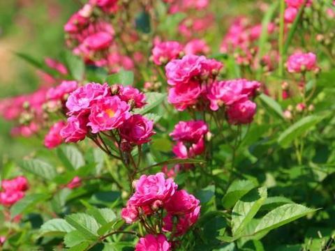 贵州这片蔷薇花争相斗艳,最美赏花好去处