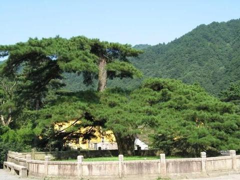 安徽一棵被遗忘的树,有六百年历史,现已成为九华山的一大景观