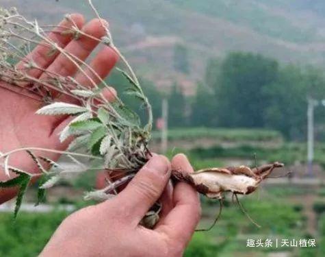 农村藏在地里的鸡腿,过去是农村娃的零食,嫩叶还是上好野菜!
