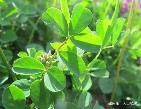农村叫牧草之王的植物,现在大面积种植,价值珍贵,城里一斤12元