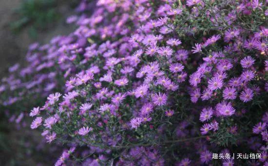 紫菀是农人眼中的杂草,城里人眼里的观赏植物,其实还是味好药材