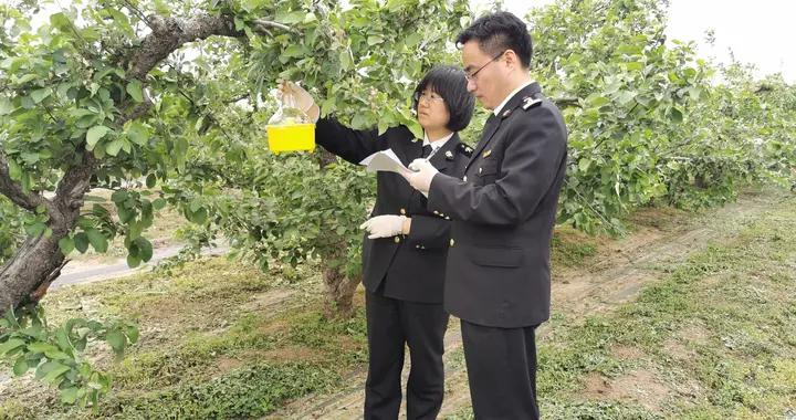 """果园挂起""""黄灯笼""""龙口海关开展国门生物安全监测工作"""