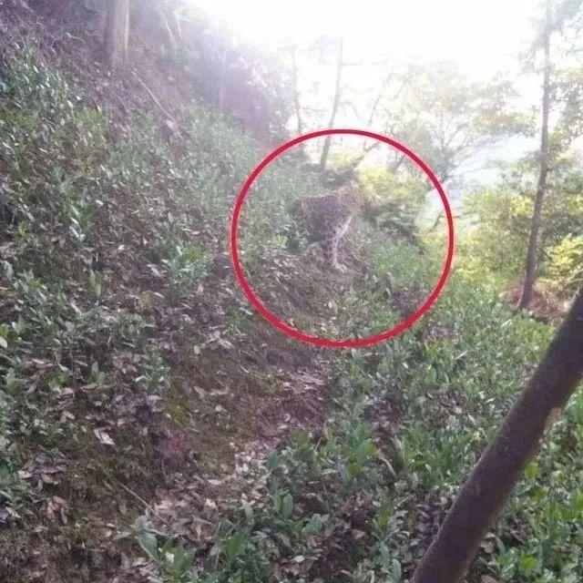 刚刚又捕获1只!杭州3只金钱豹外逃,曾现身居民小区 动物园负责人被控制