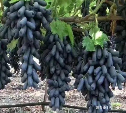 有水有土就能种植的水果,营养价值高口感好,成了农民的摇钱树