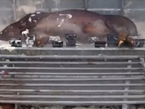 老外这高科技?黑猪进去白猪出来,几分钟就能给猪弄得干干净净