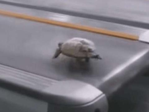 男子带着宠物龟去健身房锻炼,乌龟在跑步机上竟跑这么快?