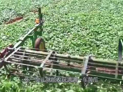 看美国人是怎样收割黄瓜的,场面真的很壮观,全程机械化!