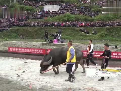乡村斗牛:红辣椒牛王是巴命元老,对手现场以各种理由毁约!