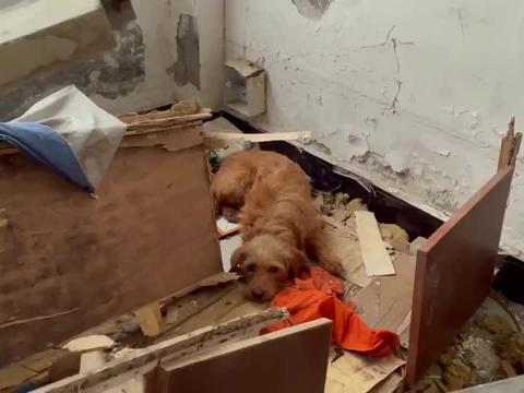 流浪狗金毛生下19个孩子,有两个狗宝宝被保安拿棒子活活打死了