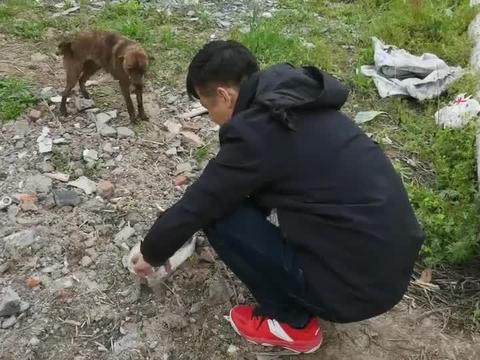 可怜的流浪狗生了一窝狗崽,饿得快死了,我们给它买了一只烧鸡吃