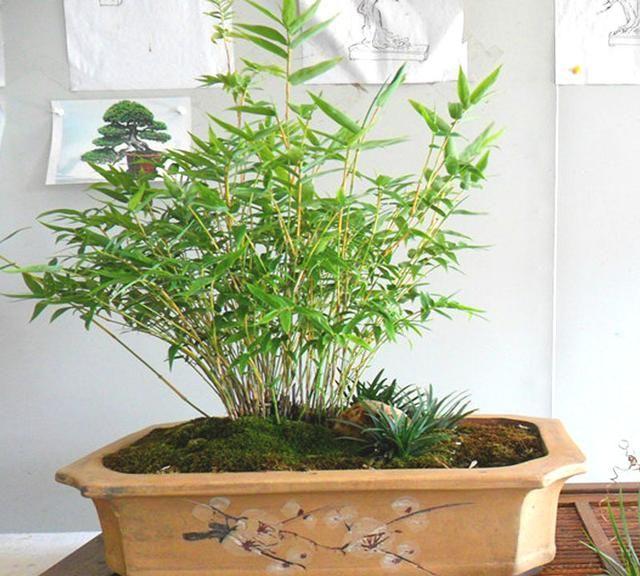 """农村养花人种的""""野竹盆景"""",比松柏秀雅,比黄荆好成活,来安排"""