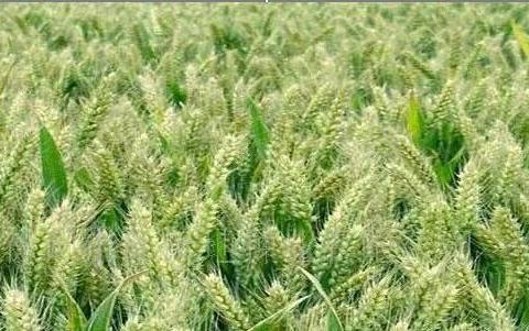 小麦再有二十天就收割了现在生全蚀病打药有必要吗?答案来了