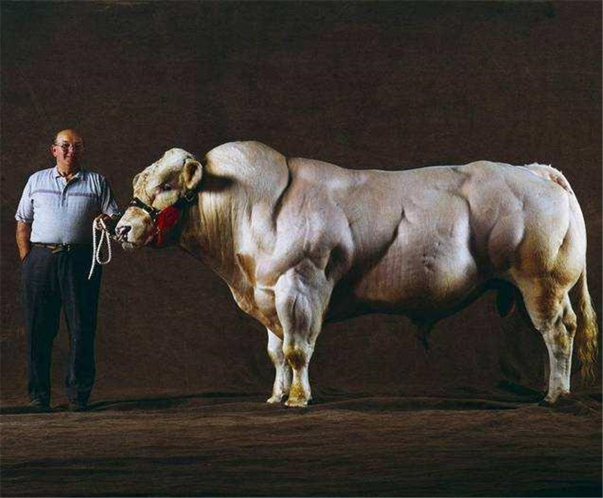 """人类改造的""""畸形产物"""",比利时蓝牛一天长3斤肉,一生充满悲剧"""