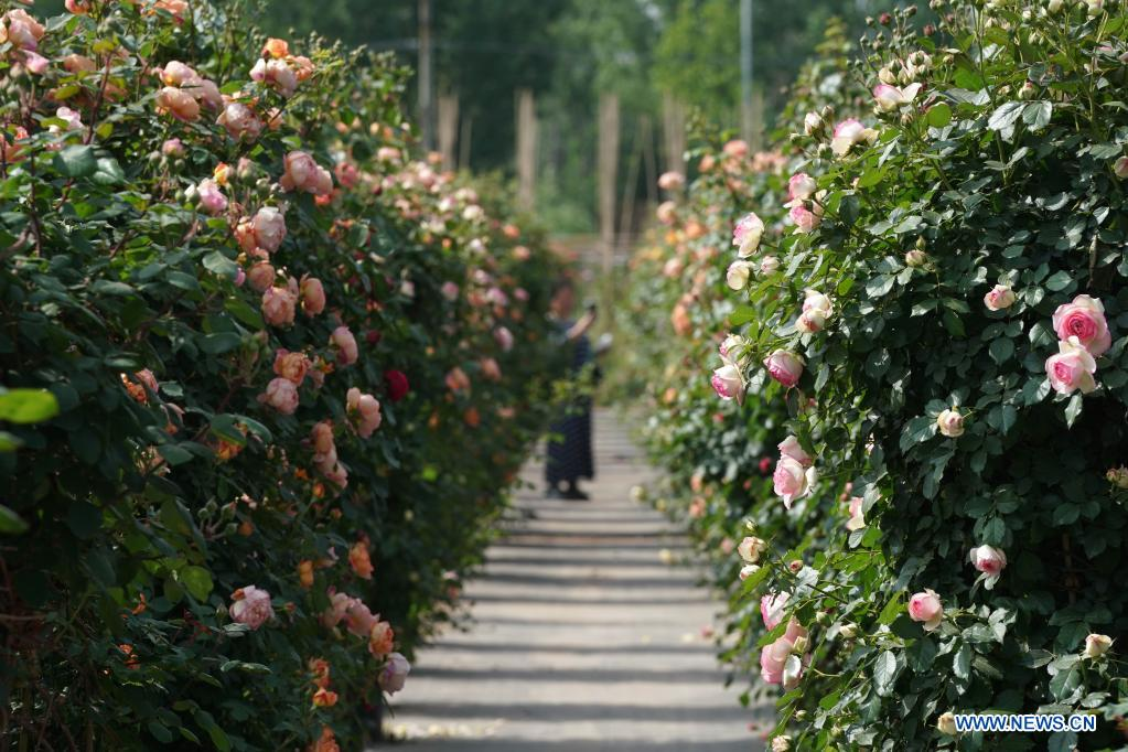 A tourist visits a Chinese rose field in Hehui Village of Xingtai, north China's Hebei Province, May 9, 2021. (Xinhua/Luo Xuefeng)