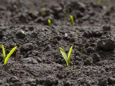 玉米封闭除草剂,播种后7天内必须打完,啥原因
