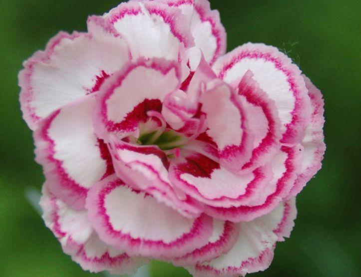 养花试试此款小清新花卉,土壤肥料不挑剔,花色丰富讨喜