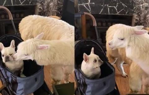 法斗犬坐在自己的推车里,没想到一旁的羊驼却突然亲了过来……