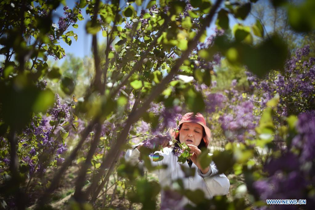 Zhang Jinmei checks the growth of lilacs at a seedling breeding base of Xining forestry science research center in northwest China's Qinghai Province, May 6, 2021. Nowadays, lilacs with lush branches and long flowering period are in full bloom in the city of Xining. It's inseparable from the efforts of Zhang Jinmei, director of the Xining forestry science research center, and her team. In 1998, Zhang Jinmei began to cultivate all kinds of lilac saplings. In 2013, she was assigned to Xining forestry science research center. Over the years, Xining has built the only one national lilac germplasm resources bank, with the help of a group of experts including Zhang Jinmei, by conducting lilac resources investigation, collection, selection and breeding. Lilac varieties has increased from 18 to 103 species, with 69 species breedable. (Xinhua/Wu Gang)