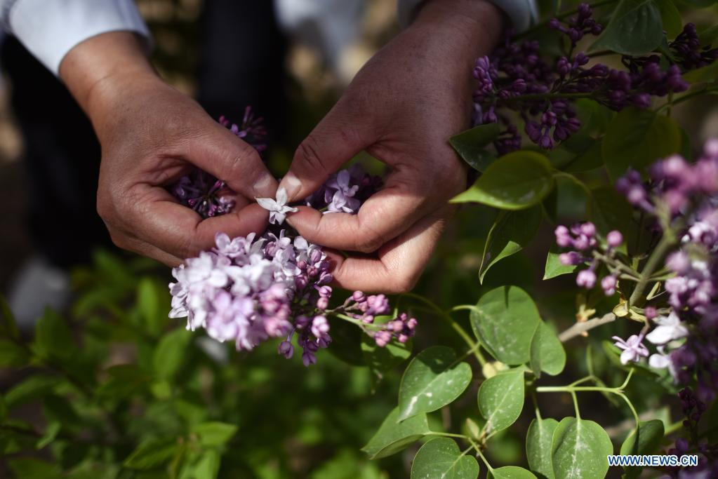 Zhang Jinmei checks the pollination of lilacs at a seedling breeding base of Xining forestry science research center in northwest China's Qinghai Province, May 6, 2021. Nowadays, lilacs with lush branches and long flowering period are in full bloom in the city of Xining. It's inseparable from the efforts of Zhang Jinmei, director of the Xining forestry science research center, and her team. In 1998, Zhang Jinmei began to cultivate all kinds of lilac saplings. In 2013, she was assigned to Xining forestry science research center. Over the years, Xining has built the only one national lilac germplasm resources bank, with the help of a group of experts including Zhang Jinmei, by conducting lilac resources investigation, collection, selection and breeding. Lilac varieties has increased from 18 to 103 species, with 69 species breedable. (Xinhua/Wu Gang)