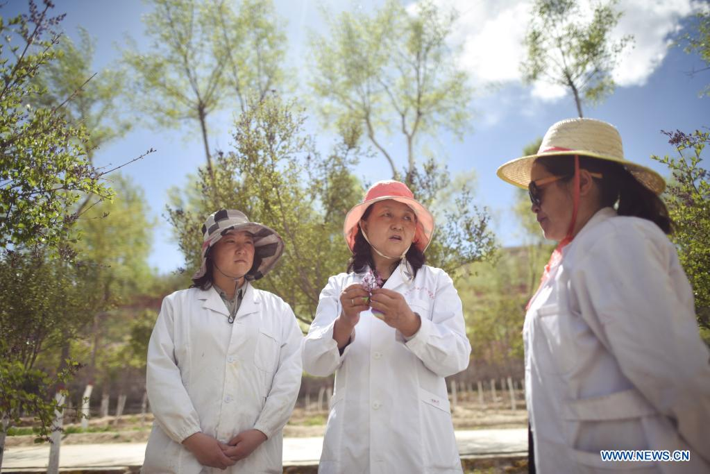 Zhang Jinmei (C) discusses the growth of lilacs with collegues at a seedling breeding base of Xining forestry science research center in northwest China's Qinghai Province, May 6, 2021. Nowadays, lilacs with lush branches and long flowering period are in full bloom in the city of Xining. It's inseparable from the efforts of Zhang Jinmei, director of the Xining forestry science research center, and her team. In 1998, Zhang Jinmei began to cultivate all kinds of lilac saplings. In 2013, she was assigned to Xining forestry science research center. Over the years, Xining has built the only one national lilac germplasm resources bank, with the help of a group of experts including Zhang Jinmei, by conducting lilac resources investigation, collection, selection and breeding. Lilac varieties has increased from 18 to 103 species, with 69 species breedable. (Xinhua/Wu Gang)
