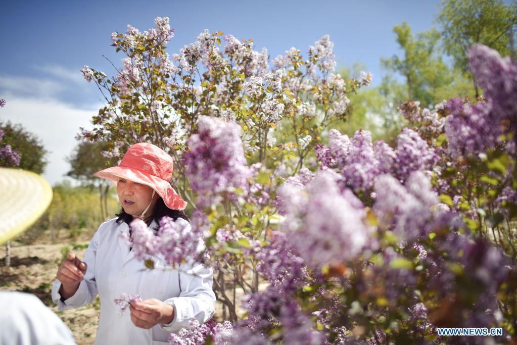 Zhang Jinmei discusses the growth of lilacs with collegues at a seedling breeding base of Xining forestry science research center in northwest China's Qinghai Province, May 6, 2021. Nowadays, lilacs with lush branches and long flowering period are in full bloom in the city of Xining. It's inseparable from the efforts of Zhang Jinmei, director of the Xining forestry science research center, and her team. In 1998, Zhang Jinmei began to cultivate all kinds of lilac saplings. In 2013, she was assigned to Xining forestry science research center. Over the years, Xining has built the only one national lilac germplasm resources bank, with the help of a group of experts including Zhang Jinmei, by conducting lilac resources investigation, collection, selection and breeding. Lilac varieties has increased from 18 to 103 species, with 69 species breedable. (Xinhua/Wu Gang)