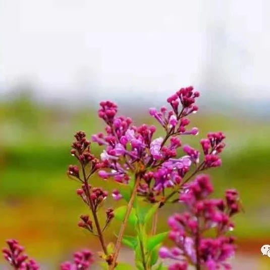 双鸭山风土人情——双鸭山丁香花儿开了,漂亮!