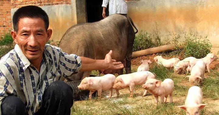 10日行情日评:猪价破10,猪肉股、生猪期货双双跳水