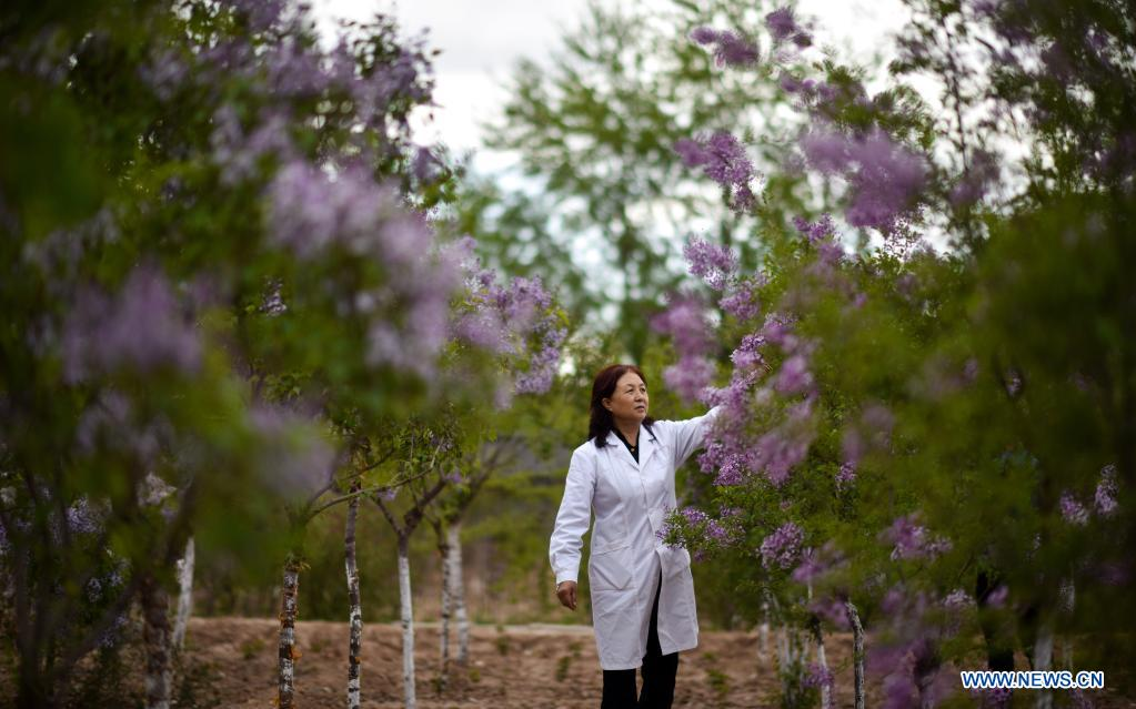 Zhang Jinmei checks the flowering of lilacs at a seedling breeding base of Xining forestry science research center in northwest China's Qinghai Province, May 6, 2021. Nowadays, lilacs with lush branches and long flowering period are in full bloom in the city of Xining. It's inseparable from the efforts of Zhang Jinmei, director of the Xining forestry science research center, and her team. In 1998, Zhang Jinmei began to cultivate all kinds of lilac saplings. In 2013, she was assigned to Xining forestry science research center. Over the years, Xining has built the only one national lilac germplasm resources bank, with the help of a group of experts including Zhang Jinmei, by conducting lilac resources investigation, collection, selection and breeding. Lilac varieties has increased from 18 to 103 species, with 69 species breedable. (Xinhua/Wu Gang)