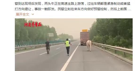 两头牛高速上跳车在路面奔跑,交警为抓牛吊车都出动了