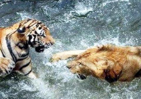 500斤老虎大战600斤狮子,场面一发不可收拾,镜头直击过程