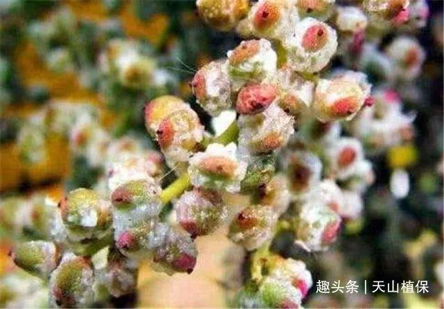 农村奇葩野果,可以挤出盐巴,咸咸的,果树浑身是宝,价值珍贵!