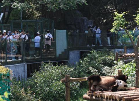萌!大熊猫开启花式消夏