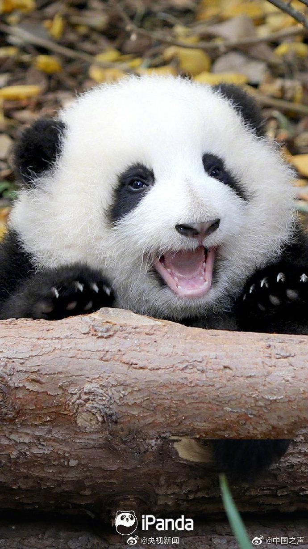大熊猫的表情有多治愈