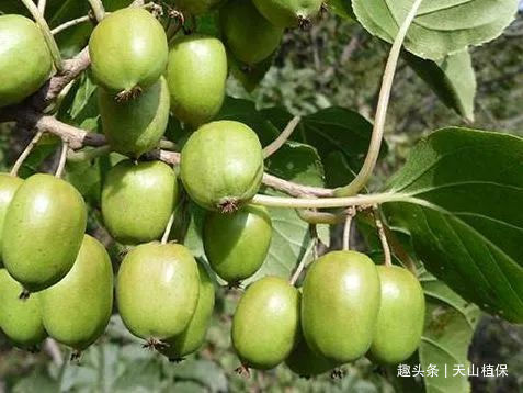 院子里有空地来种此果树,维C含量是其他水果几十倍,还能治肝炎