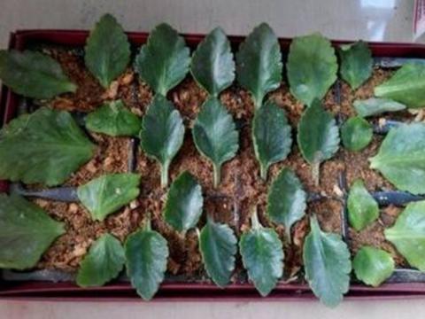 喜欢养长寿花,摘把叶子插花盆里,30天长满小株苗!